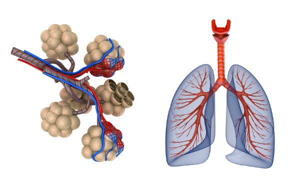 Lungs from BigStock Photos