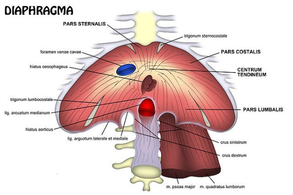 image of diaphragm BigStock