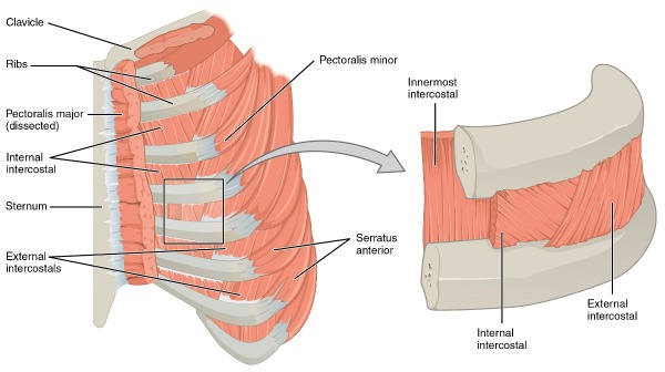 intercostals of the rib cage