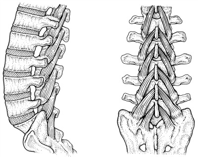 Multifidus controls segmental bending of the spine