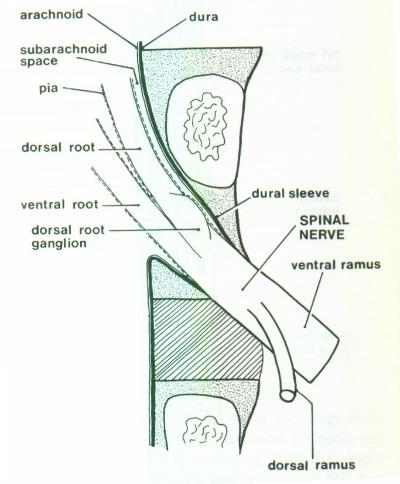 Lumbar nerve root anatomy